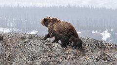 Тюменскую область облюбовали медведи